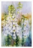 the picture of the White Foxglove